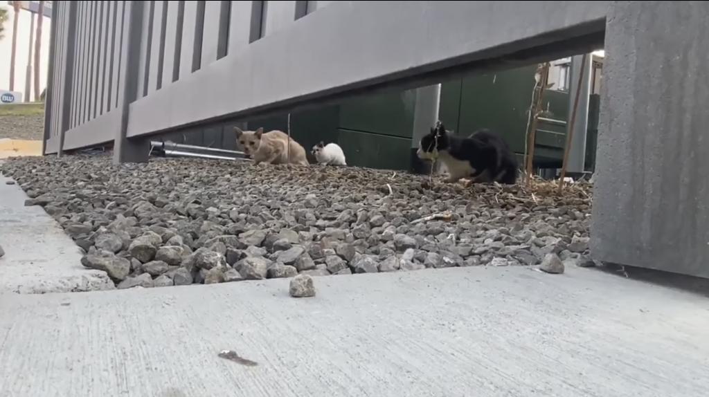 Сообщество Tesla делает пожертвования для защиты котов с нагнетателем в Kettleman City